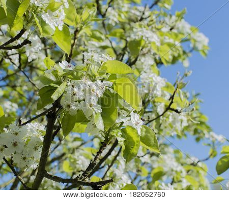 Whitethorn Blossom is a genus of small trees