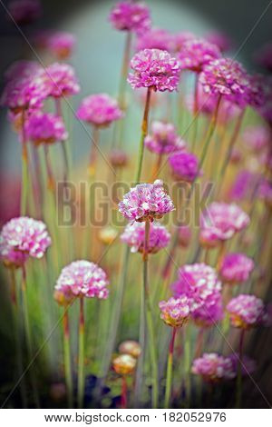 Bunch of flowering Pink Chive Flowers with a vignetted border