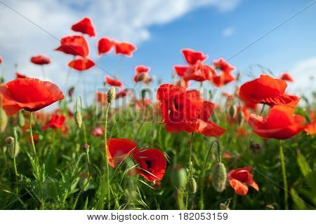 Nature, spring, blooming flowers concept - close-up on beautiful flowers and stems of the blooming red poppies on background of blue sky and clouds.