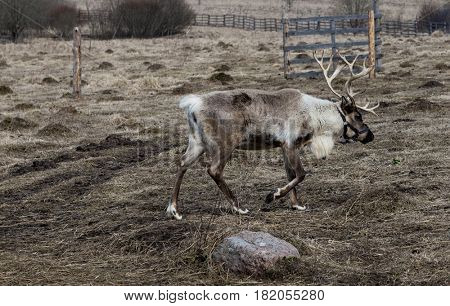 Deer in the pasture, eating the lichen