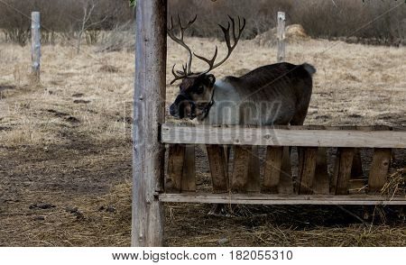 Reindeer on the farm. Deer eat from the feeders.