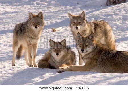 Coyote Family Portrait