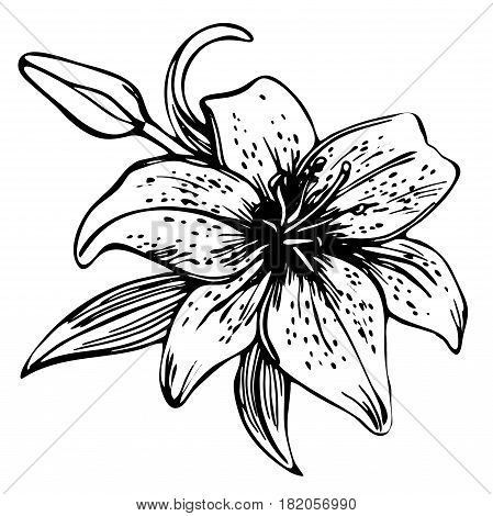 Sketch floral blooming lily. hand drawn illustration of lily flower. beautiful monochrome black and white lily