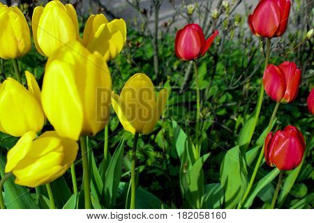 flowerbed of tulips, yellow and red tulips, spring flowers