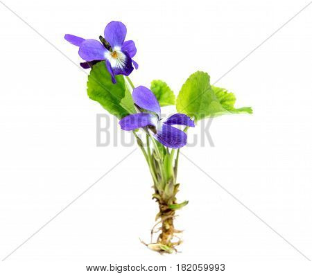 Early spring flowers ( Viola odorata) isolated on white background.