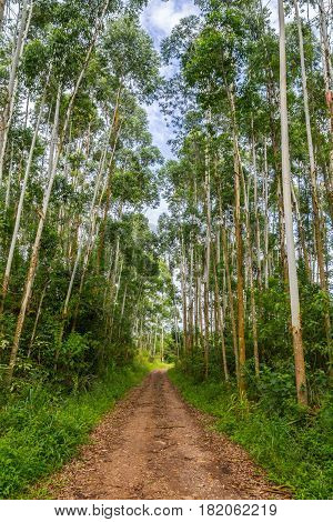 Eucalyptus Forest In Morro Do Gaucho Mountain Landscape