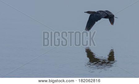 Il Marangone Minore è una specie di Cormorano che in Italia nidifica poco e quasi esclusivamente sul delta del Po