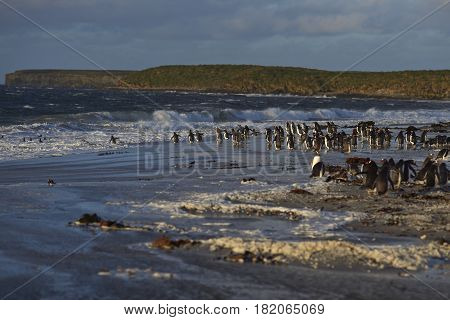 Large group of Gentoo Penguins (Pygoscelis papua) heading for a short early morning swim in the sea on Sealion Island in the Falkland Islands.