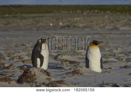 King Penguins (Aptenodytes patagonicus) standing on a sandy beach on Sealion Island in the Falkland Islands.