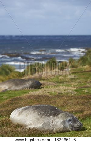 Southern Elephant Seal (Mirounga leonina) in the tussock grass above the coast on Sealion Island in the Falkland Islands.