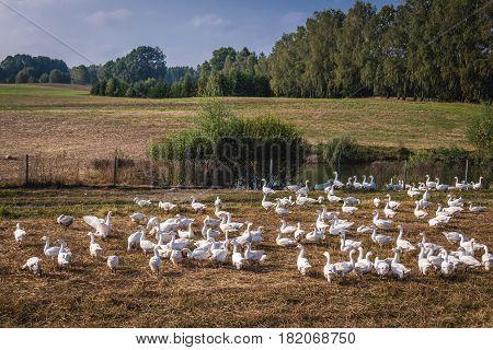 Flock of geese in Koscierzyna commune Cassubia region of Poland