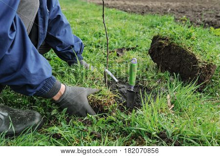 Planting fruit trees. Man's hands is putting a turf around newly planted trees.