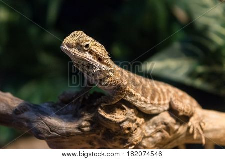Pogona is a genus of reptiles containing eight lizard species which are often known by the common name bearded dragons. The name