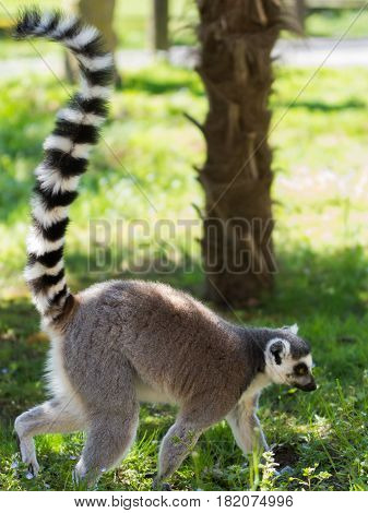 (Lemure Catta) The ring-tailed lemur (Lemur catta) is a large strepsirrhine primate and the most recognized lemur due to its long black and white ringed tail.