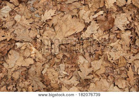 Natural Backgroud Of Dry Oak Leaves