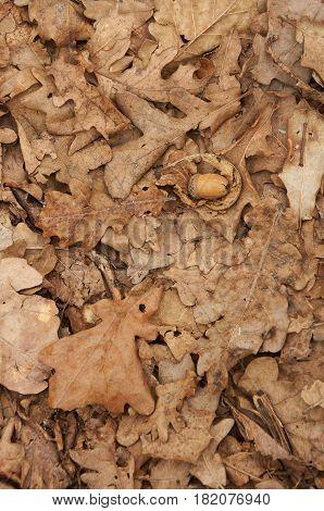 Acorn On Backgroud Of Dry Oak Leaves
