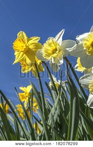 Daffodils against a blue sky in eastern Washington.