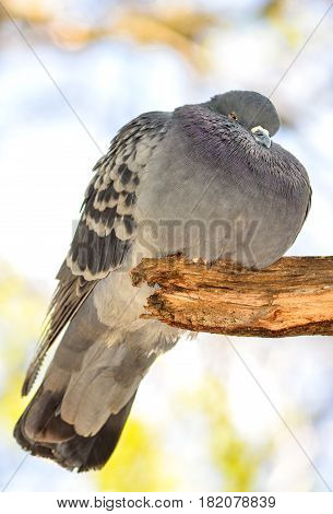 Funny fat dove bird sits on a branch. Domestic pigeon bird and blurred natural background. Grey dove bird. The rock pigeon is the world's oldest domesticated bird.