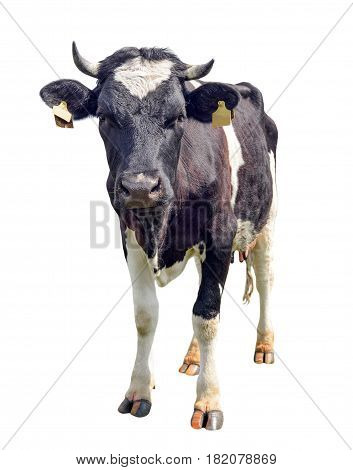 Spotted black and white cow full length isolated on white. Funny cute curious cow looking directly at the camera. Farm animals.