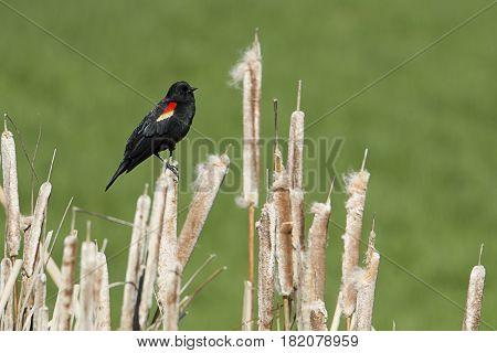 A red winged black bird is perched on some weeds in eastern Washington.