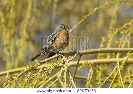Cute Robin on twig in eastern Washington.