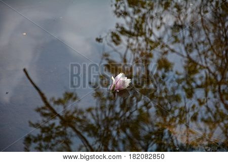 Pink  Magnolia blossoms  swims in the water with reflexion of trees