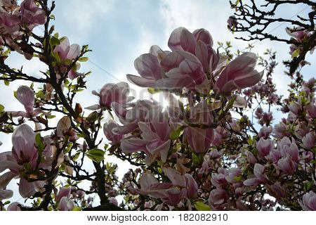 The sun seems by white magnolia blossoms  (  Magnoliaceae  )