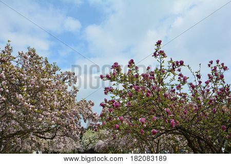Magnolias tree in the park with blue sky     (  Magnoliaceae  )
