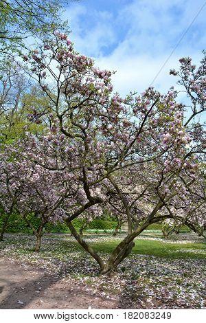 Magnolias tree in the park   (  Magnoliaceae  )