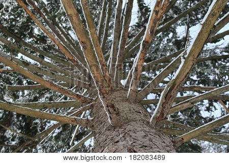 View from the ground level of a pine tree