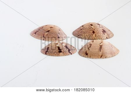 Beautiful Sea Shell Chione Paphia On A White Background