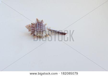 Beautiful Sea Shell Murex Elenensis On A White Background