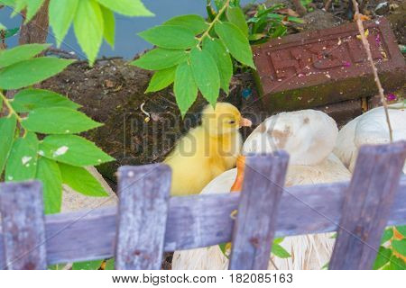 Duckling with Family . . . .