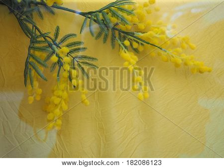 Yellow Mimosa Flower With Copy Space