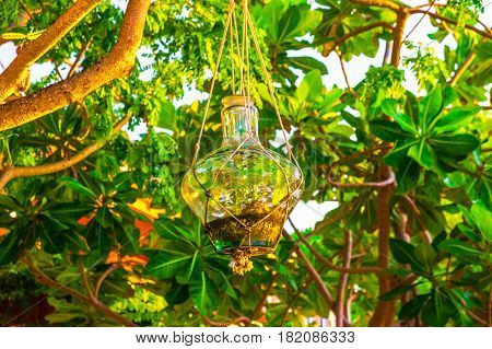 Glass jar use as a plant pot suspended from a tropical tree in Cayman Islands