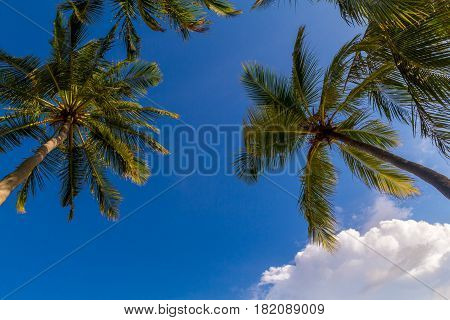 Coconut palm trees at Maldives in front of dramatic sky