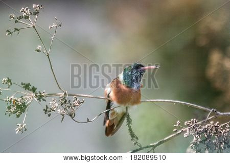 Hummingbirds are birds from the Americas that constitute the family Trochilidae. They are among the smallest of birds most species measuring 7.5-13 cm (3-5 in). Indeed the smallest extant (not extinct) bird species is a hummingbird the 5-cm bee hummingbir