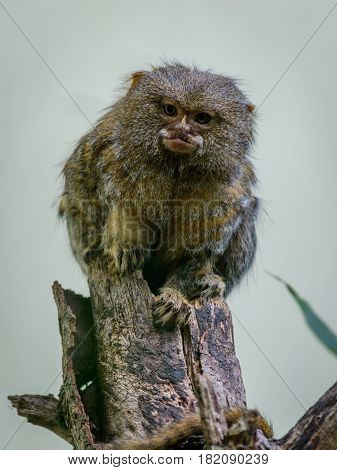 The pygmy marmoset (Cebuella pygmaea) is a small New World monkey native to rainforests of the western Amazon Basin in South America. It is notable for being the smallest monkey and one of the smallest primates in the world at just over 100 grams (3.5 oz)
