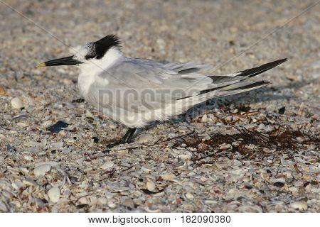 A Sandwich Tern in non-breeding plumage on a beach in Florida