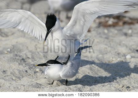 Sandwich Terns mating on a beach in Florida