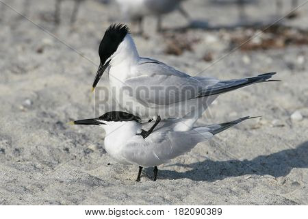 Sandwich Terns in a courtship display prior to mating on a beach in Florida