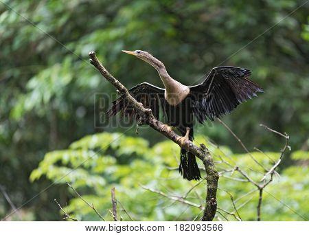 Anhinga with openwings, Anhinga anhinga, Tortuguero National Park, Costa Rica