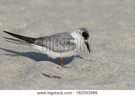 A sleepy Forster's Tern in non-breeding plumage on a beach in Florida in early spring