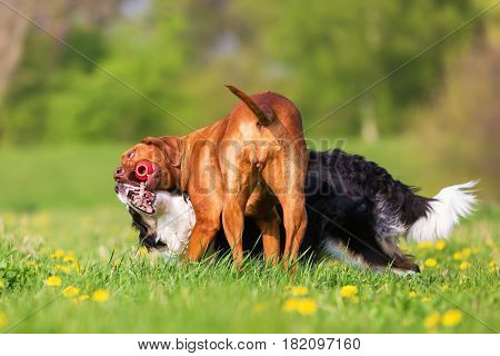 Border Collie And Rhodesian Ridgeback Fighting For A Toy