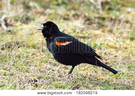 A red winged black bird singing while standing on the grass