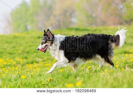 Border Collie With A Toy Walking In The Meadow