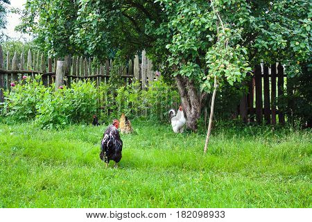 farm farmyard roosters and chickens walking in yard. hens roam freely on green grass