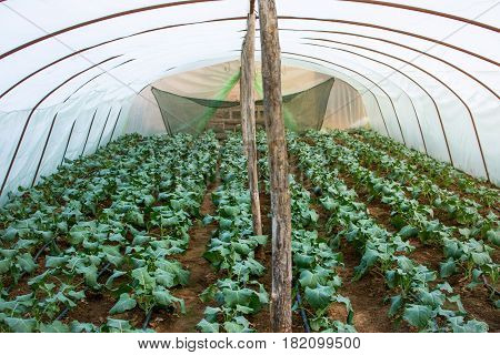 Vegetables Growing In A Small Greenhouse