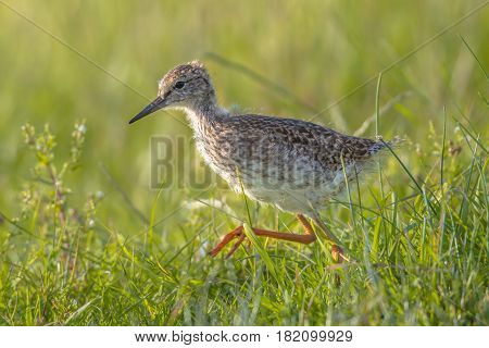 Black-tailed Godwit Wader Bird Chick Running And Hunting