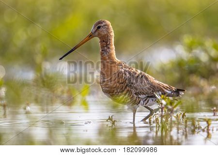 Black-tailed Godwit Wader Bird In Natural Wetland Habitat